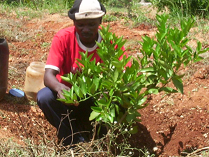 kenyan ben planting sweet orange