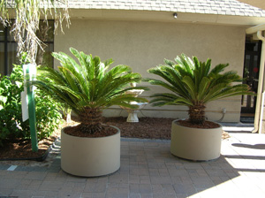 cycads in containers