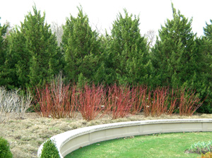 arborvitae with red twigged dogwoods