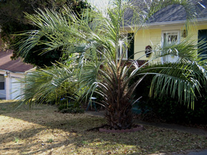 pindo palm in front yard