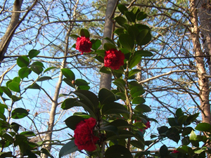 red camellia understory