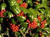 Burford holly