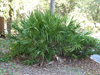 saw tooth palmetto bush