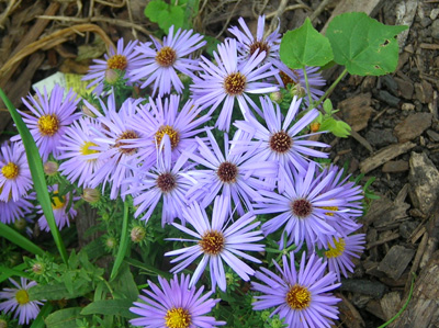 Williams plant pick of the season raydons favorite aster companions purple flowers the bright yellow center mightylinksfo