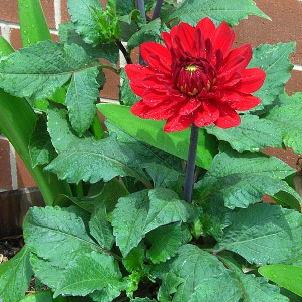 & Dahlia: William\u0027s Featured Plants: Summer Bulbs